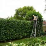 Snoeien & hersnoeien van hagen, boomverzorging Buyens