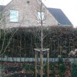 Aanplant, boomverzorging Buyens